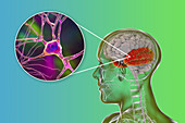 Human temporal lobe and neurons, illustration
