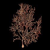 Purkinje nerve cells, illustration