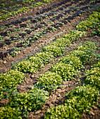 Frischer Eichblattsalat auf dem Feld