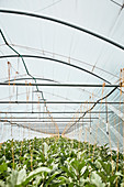 Aubergine plants in the greenhouse