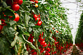 Red tomatoes on a bush