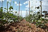 Runner beans in the field