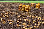 Kartoffelernte: Kartoffelsäcke auf Acker