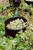 Frisch geerntete weisse Weintrauben im Eimer