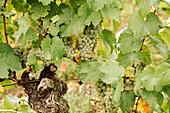 Weisse Weintrauben an der Rebe