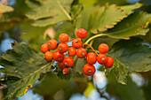 Whitebeam berries on the tree