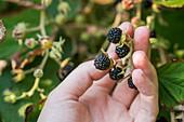 Hand harvests Szechuan blackberries