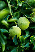 Three-leaved green oranges on a tree