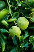 Dreiblättrige grüne Orangen am Baum