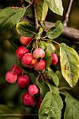 Ornamental apples on the tree