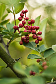 Szechuan pepper, ripe berries on the plant