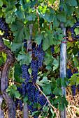 Sangiovese - Rotweintrauben am Rebstock