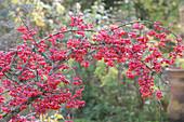 Zweig vom Pfaffenhütchen im Herbst mit überreichem Fruchtschmuck
