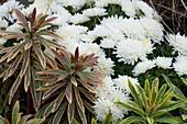 Weiße Chrysantheme und Wolfsmilch 'Ascot Rainbow'