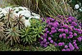 Herbstbeet mit Chrysanthemen und Wolfsmilch 'Ascot Rainbow'