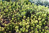 Nickendes Garten-Fettblatt 'Yellow Cushion' auch gelbe Tripmadam