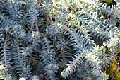 Tripmadam 'Blue Cushion' auch Nickendes Garten-Fettblatt genannt