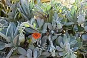 Kreuzkraut 'Orange Flame' - silbergraue Strukturpflanze
