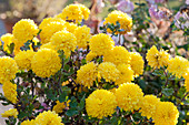 Chrysantheme 'Goldmarianne'