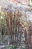 Verblühte Goldrute und Herbstaster mit Rauhreif