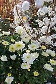 Liebesperlenstrauch 'Snow Queen' mit weißen Beeren und Chrysantheme 'Elys White'