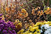 Herbstbeet mit gelbfrüchtigem Schneeball 'Michael Dodge' und Chrysanthemen