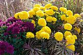 Herbstbeet mit Chrysanthemen 'Goldmarianne' 'Tiplo' und Wolfsmilch 'Ascot Rainbow'