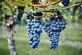 Rote Weintrauben am Rebstock