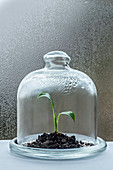 Keimling wächst unter Glocke mit Kondenswasser