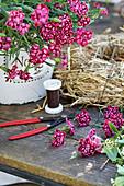 Topf mit Nelke und abgeschnittenen Blüten auf dem Tisch