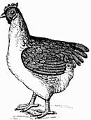 Huhn (Illustration)