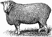 Sheep (Illustration)