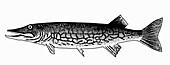 Pickerel (Illustration)
