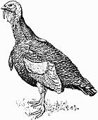 Turkey (Illustration)