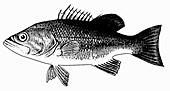 Forellenbarsch (Illustration)