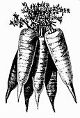 Carrots (Illustration)