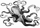 Octopus (Illustration)