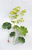 Frauenmantel, Blätter und Blüten