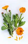 Ringelblume, Zweig mit Blüten