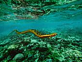 Brachydectes prehistoric amphibian, illustration