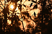 Silhouette of hummingbirds at sunset