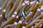 Juvenile banggai cardinalfish