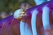 Three lobed porcelain crab