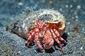 Jewelled anemone crab