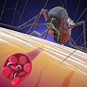 Mosquito transmitting malaria, illustration