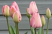 Tulipa 'Mystic van Eijk'