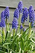 Armenian grape hyacinth (Muscari armeniacum 'Big Smile')