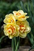 Narcissus 'Tahiti'