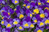 Violet 'Celestial Northern Lights'