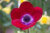 Anemone coronaria 'De Caen Mixed'